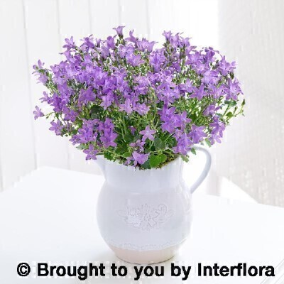 Charming Campanula Jug: Booker Flowers and Gifts