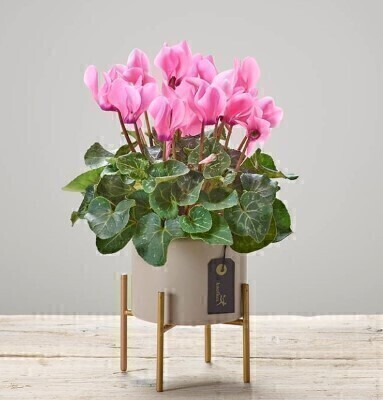 Cherry Pink Cyclamen Plant: Booker Flowers and Gifts