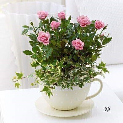 Rose plants are always a firm favourite - and a great gift choice for any occasion. Here - we've chosen a wonderfully delicate shade of soft pink and planted them in a charming ceramic teacup and saucer for a chic - contemporary gift. andnbsp;