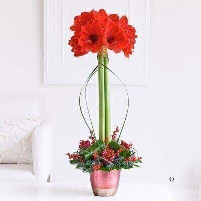 Christmas Amaryllis Lifestyle Arrangement: Booker Flowers and Gifts