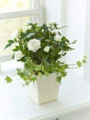 Classic Cream Rose Planter: Booker Flowers and Gifts