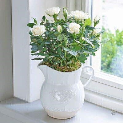 Country Style Rose Jug - Cream: Booker Flowers and Gifts