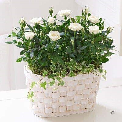THIS PRODUCT IS A HAND ARRANGED ASSORTMENT OF PLANTS AND COMES IN PICTURED CONTAINER<br><br>Fresh simple and effortlessly chic these cream rose plants make a pleasing gift for someone special. We've planted them in an attractive woven basket creating a charming display for their window ledge or table.<br><br>Featuring two cream rose plants and ivy presented in a white wash woven basket.<br><br>Approximate Product Dimensions:<br><br>Height: 32cm (plant 17cm) Width: 26cm