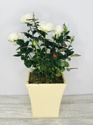 Cream Rose Ceramic: Booker Flowers and Gifts