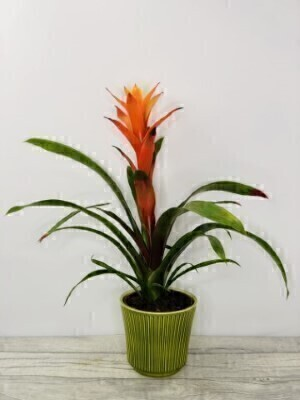 Exotic Bromeliad Indoor House Plant Orange: Booker Flowers and Gifts