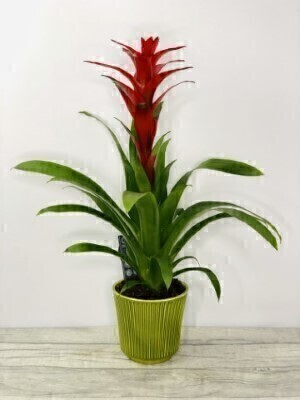 Exotic Bromeliad Indoor House Plant Red: Booker Flowers and Gifts