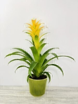 Exotic Bromeliad Indoor House Plant Yellow: Booker Flowers and Gifts