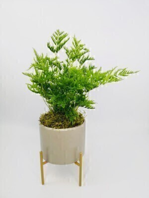 Boston Fern in Ceramic Pot