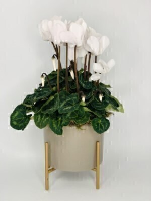 Frosty White Cyclamen Plant: Booker Flowers and Gifts