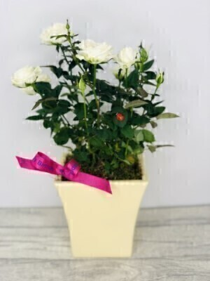 Cream Rose Plant - Birthday Gift