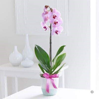 Happy Birthday Phalaenopsis Orchid: Booker Flowers and Gifts