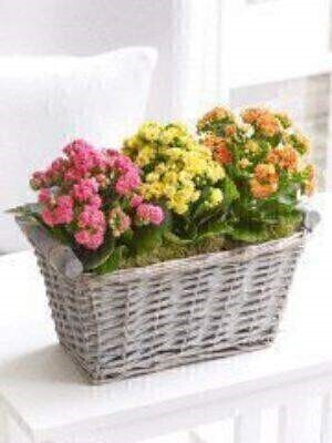 This colourful gift of flowering kalanchoe plants is a lovely way to brighten someoneandacirc;andeuro;andtrade;s day. These dainty flowers are beautifully presented and ready to put in pride of place straight away. They should adore the way this gift adds a burst of colour and freshness to their home.Featuring three kalanchoes in orange pink and yellow planted in a grey wash wicker basket and topped with moss.Approximate Product Dimensions: Height: 27cm Width: 30cm