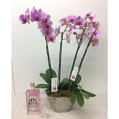 Large Pink Phalaenopsis Orchid Plant and Pink Gin: Booker Flowers and Gifts