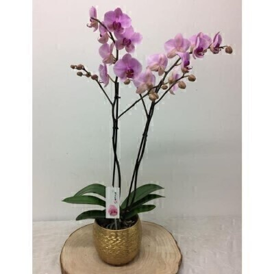 Large Twin Stemmed Pink Phalaenopsis Orchid Plant: Booker Flowers and Gifts