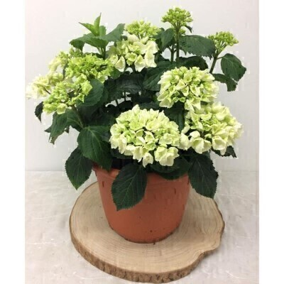 Large White Hydrangea Plant: Booker Flowers and Gifts