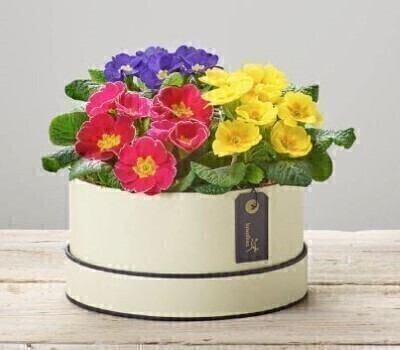 Spring Plants in a HatboxHand arranged by our florists into a luxury hatboxTo give you the best occasionally we may make plant substitutesOur flowers backed by our 7 days freshness guaranteeApproximate dimensions 24cmx24cmThis product is available for UK deliveryThese beautiful plants arranged into a hatbox is a delightful choice to celebrate Spring. Ideal gift for a Birthday or Get Well gift.Featuring a cerise primrose plant a yellow primrose plant and a purple primrose plant planted into a soft cream and black round hatbox. Plus all our bouquets and plants have a small wooden ladybird hidden in somewhere so dont forget to spot the ladybird on our social media pages!Liverpool Flower DeliveryWe offer advanced booking flower delivery same day flower delivery 3 hour Flower delivery guaranteed AM PM or Evening Flower Delivery and we are now offering Sunday Flower Delivery.The best florist in LiverpoolCome to Booker Flowers and Gifts Liverpool for your Beautiful Flowers and Plants if you really want to spoil we also have a great range of Local Gin Wines Champagne Balloons Vases and Chocolates that can be delivered with your flowers. To see the full range see our extras section. You can trust Booker Flowers and Gifts can deliver the very best for you.