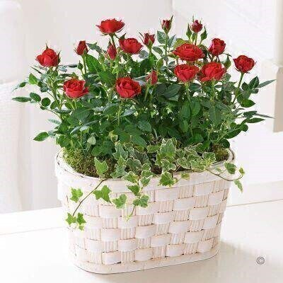 THIS PRODUCT IS A HAND ARRANGED ASSORTMENT OF PLANTS AND COMES IN PICTURED CONTAINER<br><br>For a variation on the traditional gift of roses why not send this lovely rose basket? We've taken two miniature rose plants in rich red and carefully planted them in this pretty woven basket. It is a delightful gift that will bring a smile to their face — and some colour to their room.<br><br>Featuring two red rose plants and ivy presented in a white wash woven basket.<br><br>Approximate Product Dimensions:<br><br>Height: 32cm (plant 17cm) Width: 26cm