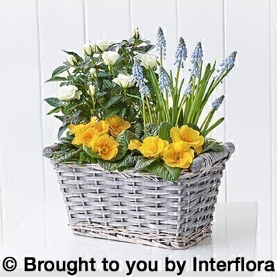 Spring Cheer Planted Basket: Booker Flowers and Gifts
