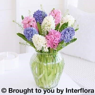 <h2 Spring Hyacinth mix in glass vase<br><br> Liverpool Flower Delivery<br><br>We offer advanced booking flower delivery same day flower delivery 3 hour Flower delivery guaranteed AM PM or Evening Flower Delivery and we are now offering Sunday Flower Delivery.<br><br>Hand arranged by our florists to make a beautiful stylish  arrangement To give you the best occasionally we may make substitutes Our flowers backed by our 7 days freshness guarantee Approximate dimensions 38 x 22cm <li This product is available for delivery throughout the UK <br><br> THIS PRODUCT IS HAND ARRANGED AND COMES IN THE VASE.A beautifully arranged vase of colourful hyacinths is the perfect springtime gift.  Featuring a selection of hyacinths in cerise blue white arranged with thlasppi in a clear bevelled glass lantern vase. <br><br> The best florist in Liverpool<br><br> Come to Booker Flowers and Gifts Liverpool for your Beautiful Flowers and Plants if you really want to spoil we also have a great range of Wines Champagne Balloons Vases and Chocolates that can be delivered with your flowers. To see the full range see our extras section. You can trust Booker Flowers and Gifts can deliver the very best for you