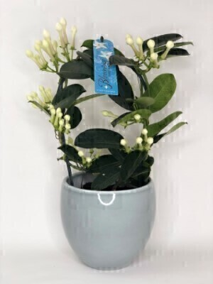 Stephanotis House Plant in Ceramic Pot: Booker Flowers and Gifts