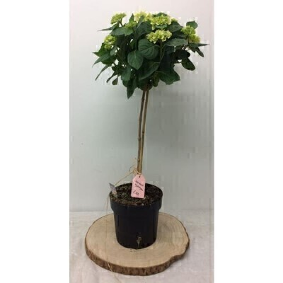 Topiary White Hydrangea Plant: Booker Flowers and Gifts