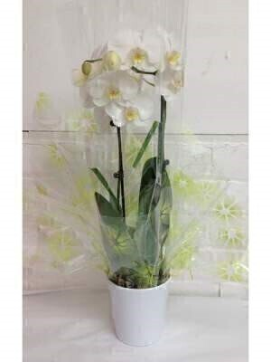Twin Stemmed White Phalaenopsis Orchid Plant: Booker Flowers and Gifts