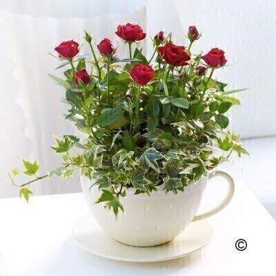 Rose plants are always a firm favourite - and a great gift choice for any occasion. Here - we've chosen a wonderfully vibrant shade of red and planted them in a charming ceramic teacup and saucer for a chic - contemporary gift. andnbsp;