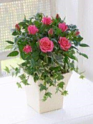 Pink roses are a wonderfully feminine gesture for someone special and this gift is a great choice as it will last for ages. We've chosen a flowering rose in a striking shade of pink and planted it with trailing ivy for contrast. They're sure to be delighted.<br><br>Featuring a pink rose planted with ivy and moss in a cream curved pot. This gift can be enjoyed indoors — but may also be successfully planted in the garden during the warmer months.<br><br>Approximate Product Dimensions: Height: 30cm Width: 20cm