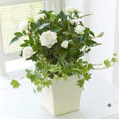 <h1>White Flowers - Plantsandnbsp;in a Pot</h1>